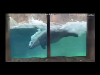 Moment three-year-old baby hippo Fiona jumps up and down