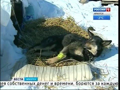 Нечеловеческая жестокость. В Иркутске и районе живодёры расстреливают собак, Вести-Иркутск