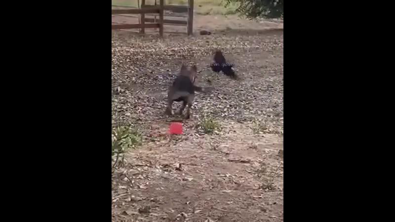 Этот собакен подружился с вороной которая каждый день прилетает к нему чтобы вместе поиграть