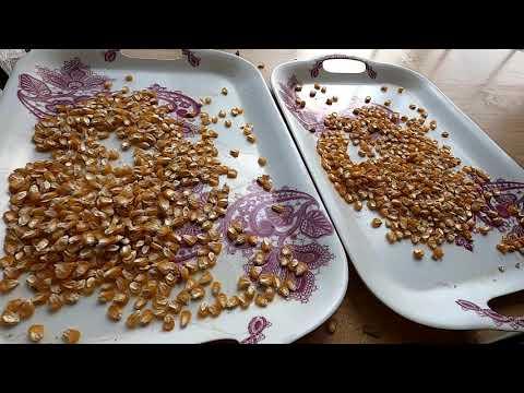 Обмолачиваю початки кукурузы