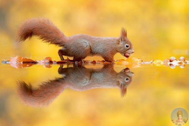 Несколько часов ожидания и фотосессия с белками готова. Картины Ван Дуйна запечатлевают невиданную красоту природы, и его умение фотографировать животных, особенно белок, легендарно. Вновь Ван