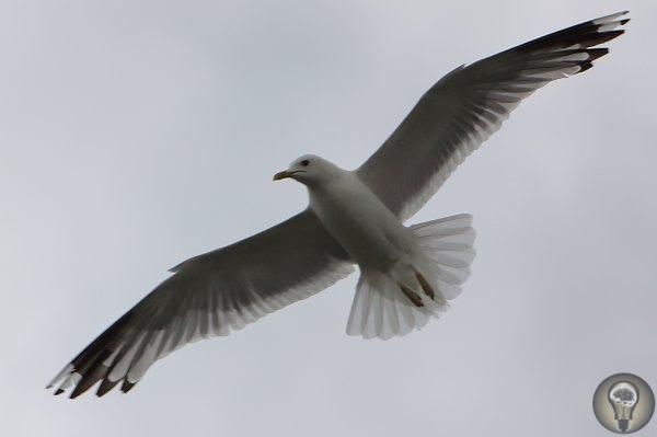 Чайка как персональный магнит Без криков птиц любой человек почувствует себя у воды одинокимОблюбовавшие морские просторы и совсем небольшие озёра, многочисленные представители рода чаек (Larus