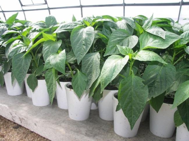 Оптимальная температура для рассады на разных этапах выращивания., изображение №6