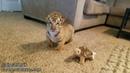 BABY TIGERS WATC 520