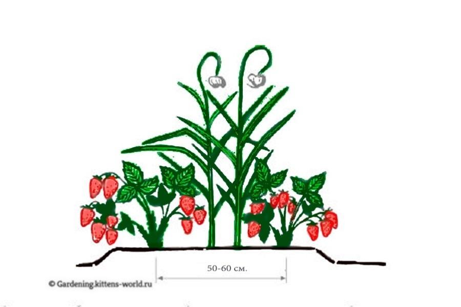 Что можно посадить в грядку с клубникой-клубника и чеснок