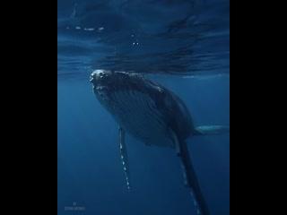Горбатый кит.