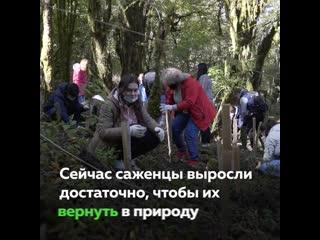 Сохраним лес: в Сочинском нацпарке высадили самшит при участии волонтёров и Олега Газманова в рамках нацпроекта «Экология»