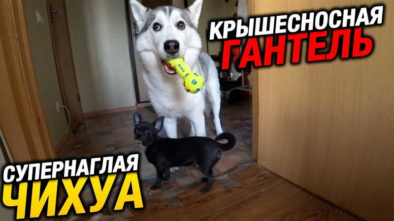 Хаски Капелла снова сошла с ума от игрушки Крышесносная гантель для собак