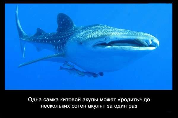 валтея - Интересные факты о акулах / Хищники морей.(Видео. Фото) CSpkMAOTE04