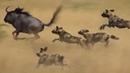 Гиеновидные собаки – главные бандиты Африки! Мощная стая, которую боятся даже леопарды!