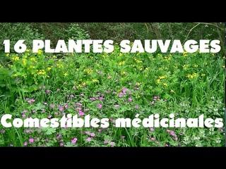 16 Plantes sauvages comestibles et médicinales a ramasser sur 100 mètres.