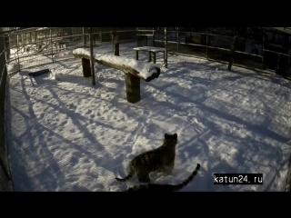 Веб-камеры К24: прогулка тигрят в Барнаульском зоопарке