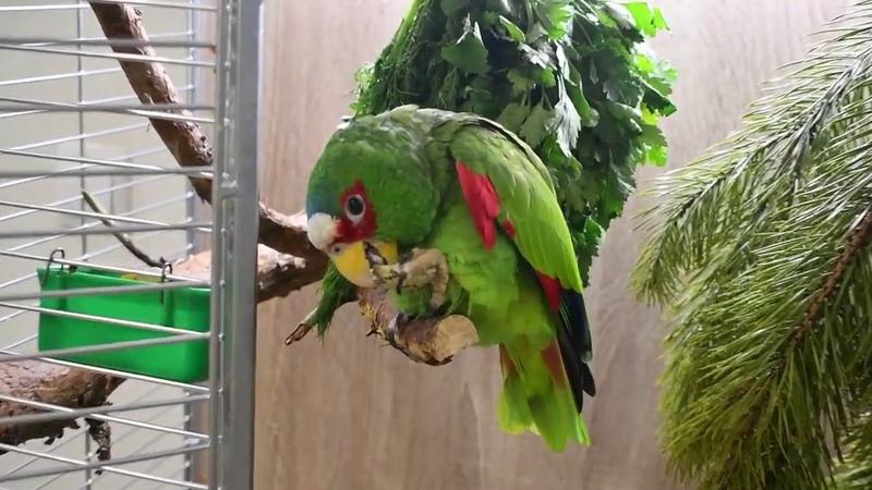 Компаньон для амазона Осторожно громко Новый Год по птичьи хвоя пряные травы в рационе попугая