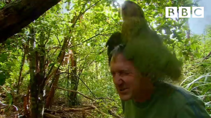 Shagged by a rare parrot   Last Chance To See - BBC