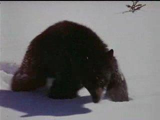 Дикий пес Севера / Nikki, Wild Dog of the North(1961г)