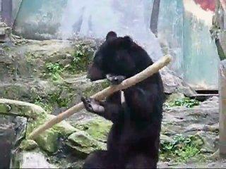 Медведь от нечего делать... в зоопарке