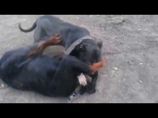 Собачьи БОИ ,,Стафф против Ротвейлера .
