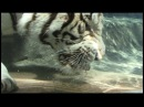 Amazing Rare Underwater Bengal White Tiger Video for info on footage only Jrnyfilms@comcast