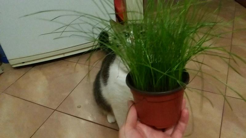 Трава для кошек)