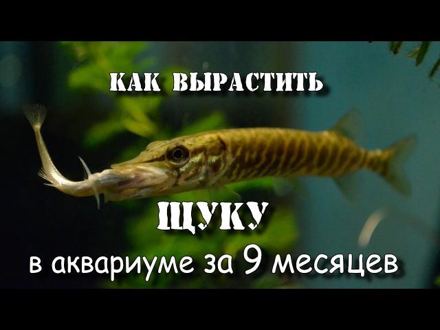 Как вырастить щуку монстра в аквариуме за 9 месяцев