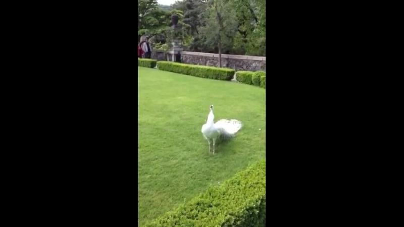 Bílý páv v Buchlovicích - 36 vteřin nádhery !