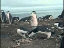 Кусто в Антарктике Часть II Полет пингвинов - Подводная одиссея команды Кусто 1974