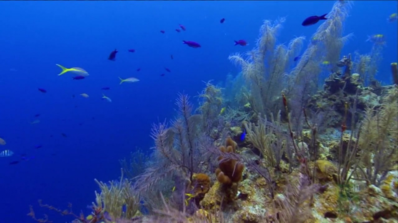 ВВС Дикие Карибы Живые сокровища Карибских рифов 2007
