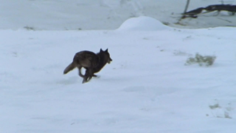 BBC Жизнь млекопитающих Плотоядные 5 серия