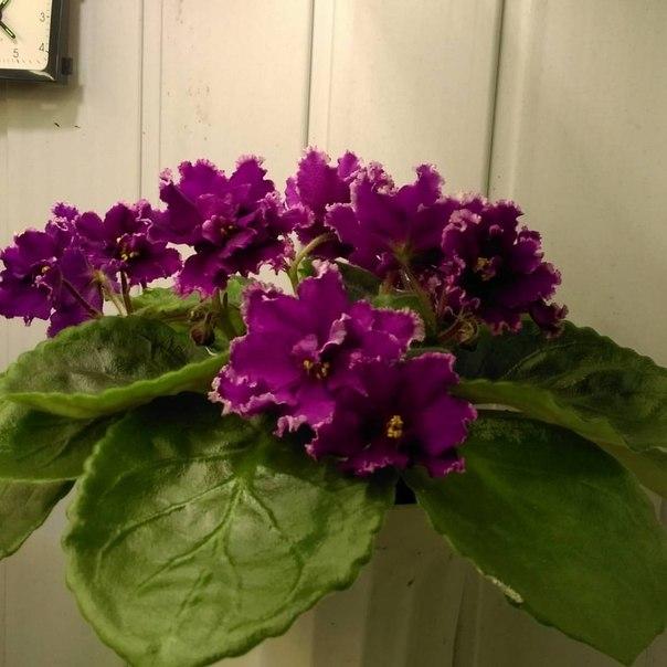 миропонимание можно фиалка ек малахитовая орхидея фото как чистое
