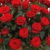 iFlowers - адресная доставка цветов