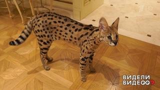 Один дома: кошка подруги певца Шуры. Видели видео Фрагмент выпуска от