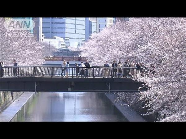 デジタル花見 目黒川の満開桜 ~ 今年は行きにくいですよね…お花見 そんなあなたにデジタル花見をお届け!行ったつもりでお楽しみにください 20 03 26