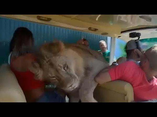 Crimée un lion se prend d'affection pour des visiteurs