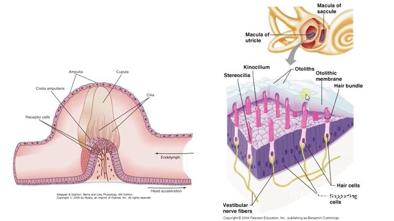 Биология в картинках: Строение и работа вестибулярного аппарата (Вып. 52)