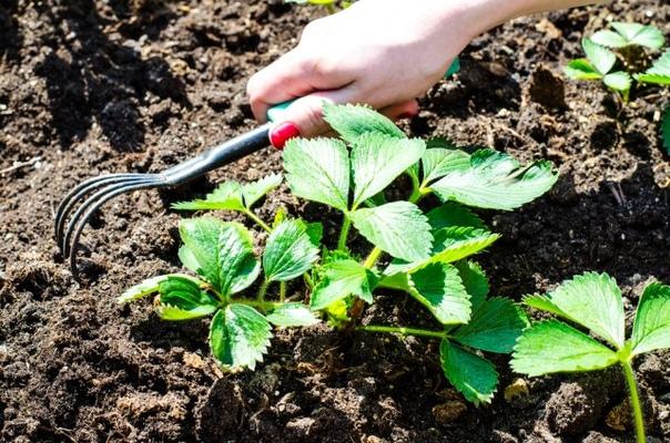 Как ухаживать за клубникой после сбора урожая, чтобы он был еще больше