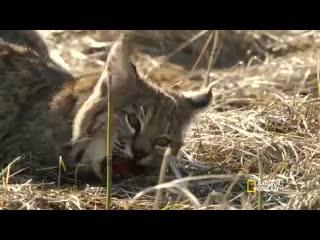 Рысь bobcat cubs steal moms food