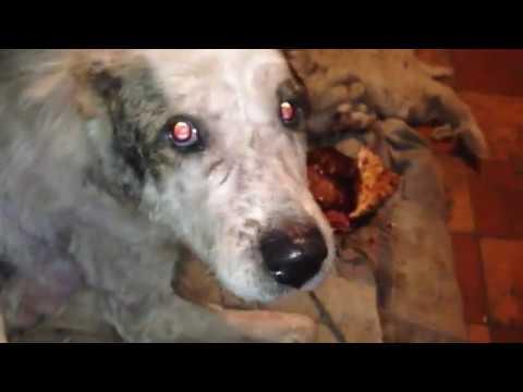 Собаки-доходяги на больничке