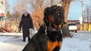 Прогулка по городу Что делать если собака не смотрит в глаза Ротвейлер