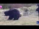 Медведи и воздушный шарик