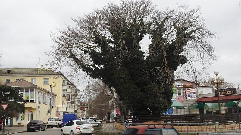 БАОБАБ по керченски Интересные деревья растут в Керчи