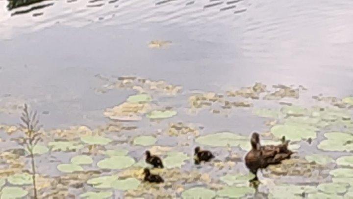 Bukreev Мелкие птенцы утята пешком ходят по кувшинкам Дождь Всё мокрое Гнездо с утиной семьёй Окуньки на песчаном дне Можно ув