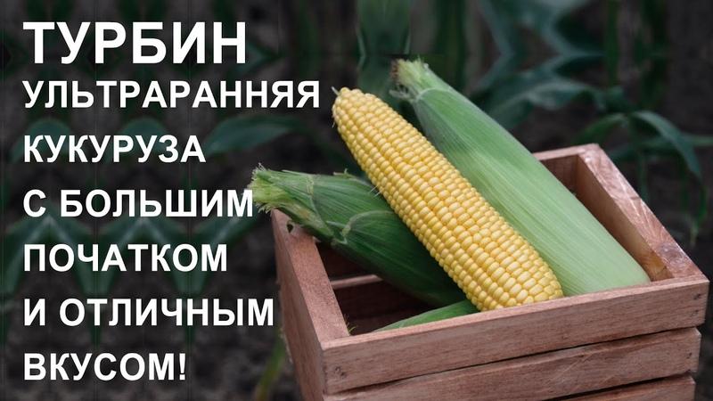 ТУРБИН ультраранняя кукуруза с большим початком и отличным вкусом