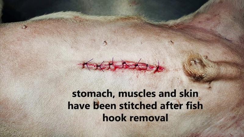 Мопс проглотил рыболовный крючок. Послеоперационное кровотечение / A pug swallowed a fish hook. Post-operation bleeding