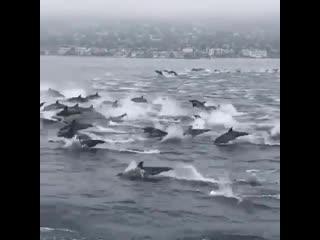 Большая стая дельфинов, невероятное зрелище