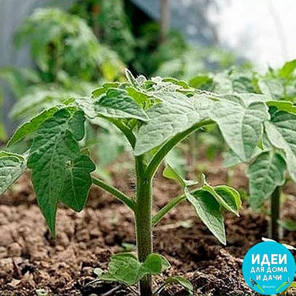 Маленькие томатные хитрости