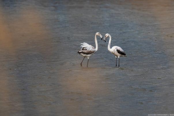Шторм принёс в Крым розовых фламинго