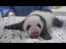 Маленькая панда впервые открыла глаза в Берлинском зоопарке