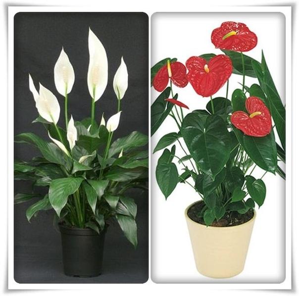 Комнатные растения счастья