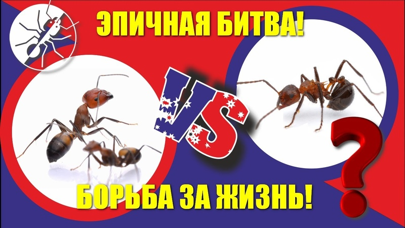 Борьба муравьев за выживание Myrmicaria brunnea vs Camponotus nicobarensis