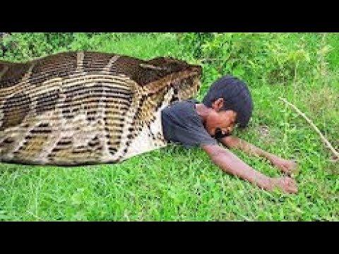 Смелый мальчик соорудил ловушку в которую попались две большие змеи. Видео диких животных